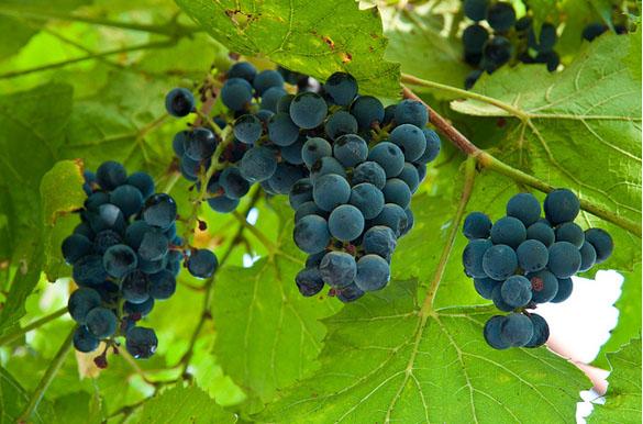 4-kuban-vineyard