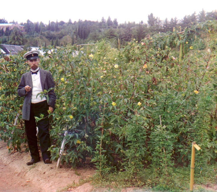 sergei-mikhailovich-prokudin-gorskii-old-color-pictures-of-russia-cotton-in-sukhumi-botanical-garden-man-standing-next-to-cotton-plants-ca-1905-1915