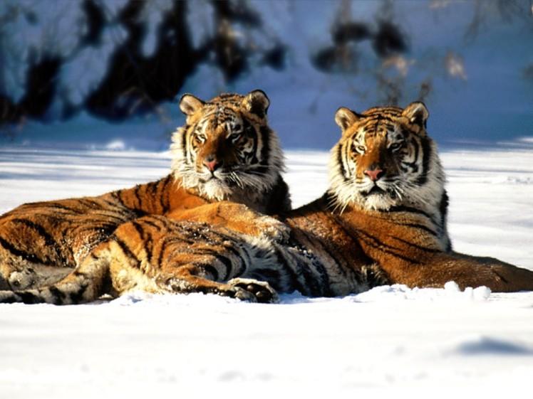 lounging_siberian_tiger_pair