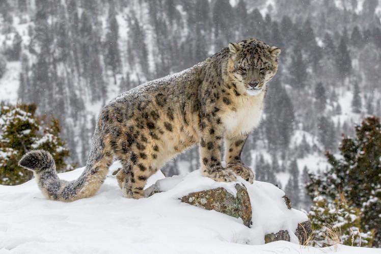 Snow-Leopard-India