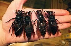 asian hornets