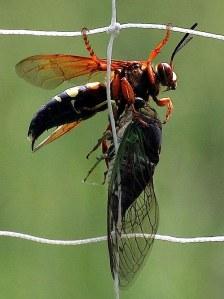 CicadaKillerWasp