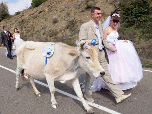 Funny-Wedding-Photos-Cow
