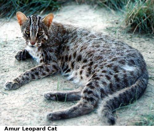 Amur-Leopard-Cat1