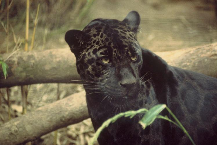 Black_jaguar