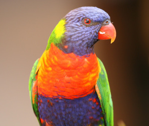rainbow-lorikeet-close-up