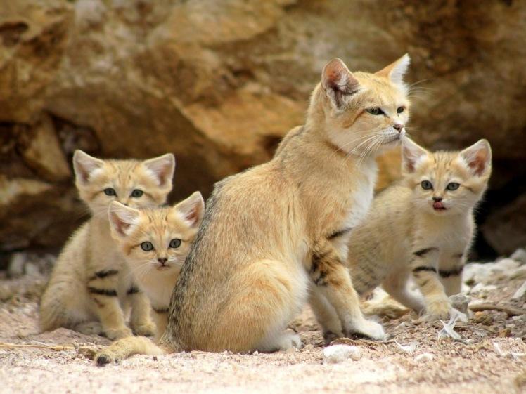 sand-cat