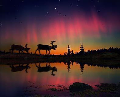 reindeer~aurora