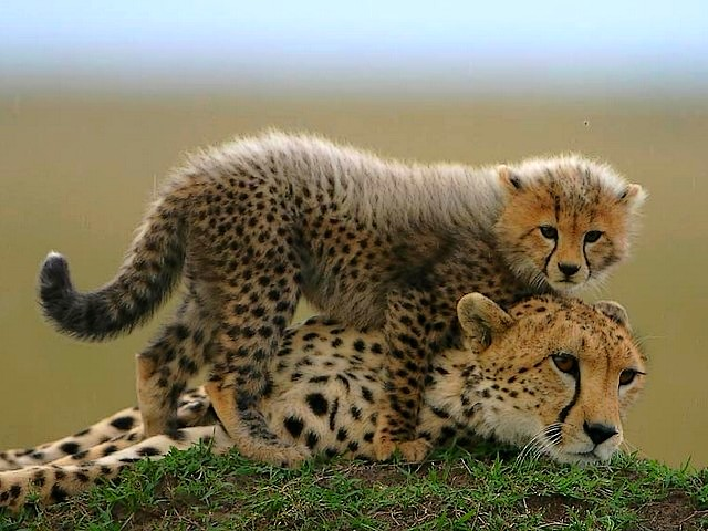 Baby-Cheetah-in-Masai-Mara-National-Reserve-Kenya-Africa