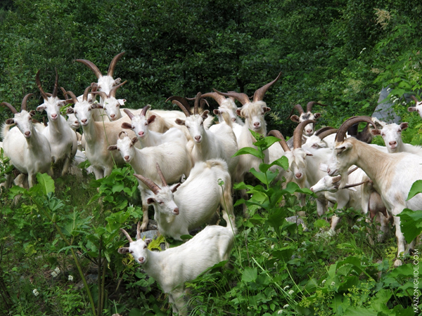 goats00001