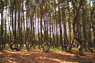kaliningrad dancing forest