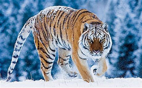 Amur-Tiger_1775801c