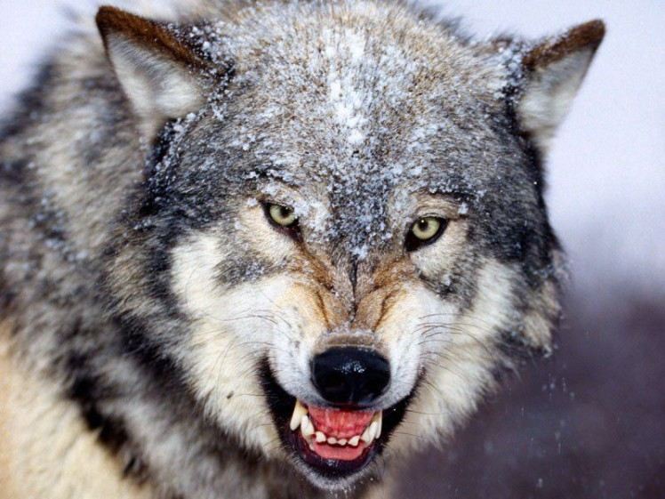 Snarling_Gray_Wolf