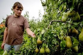 dutch pears