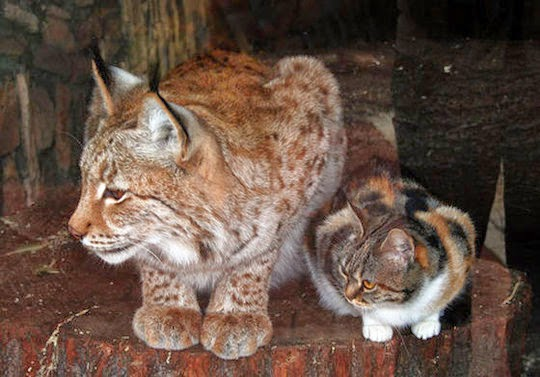 cat_and_lynx_friendship