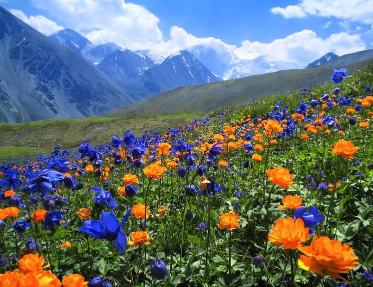 High-altitude-meadows-in-bloom.-Altai-near-Belukha-Mountain