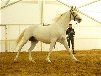 russian horses-5