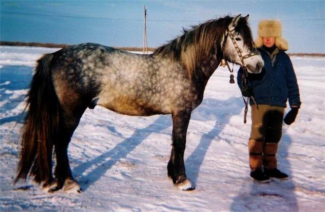 russian horses-7