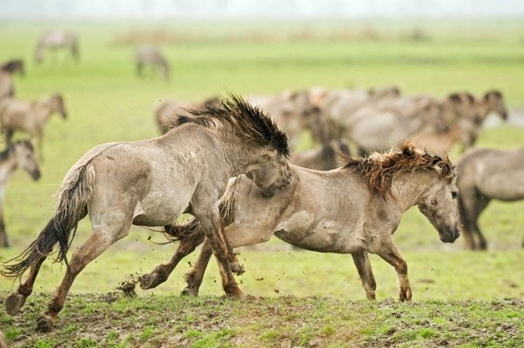 russian horses-9