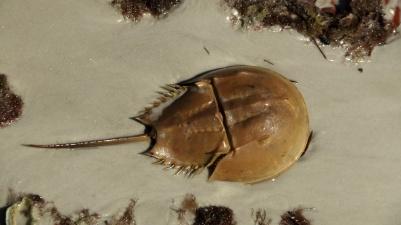 HorseshoeCrab-Main