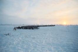 Rendeer - russian tundra