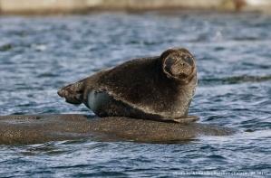 The_freshwater_ringed_seals._lake_Ladoga