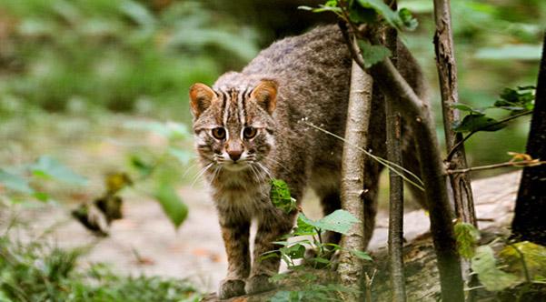 chat_leopard_siberie