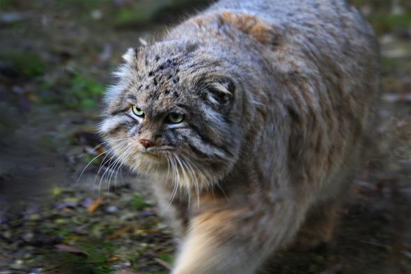 pallas-cat-by-jinterwas