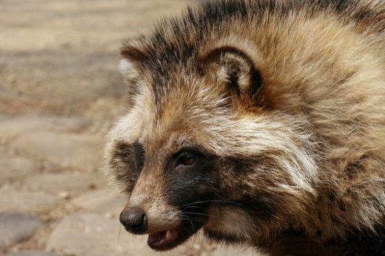 russian-animals-6-raccoon-dog-js
