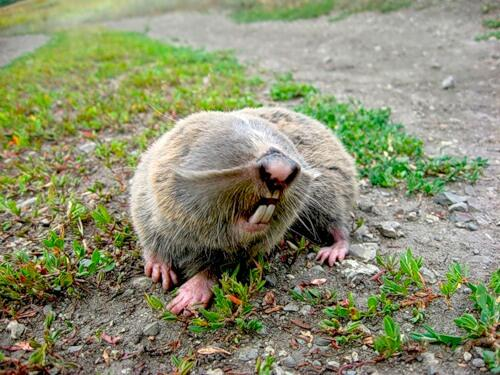 russian mole rat