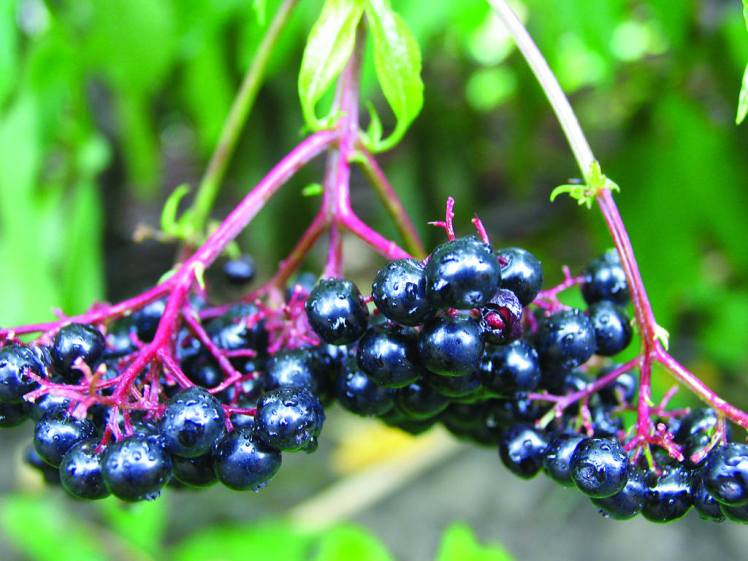 black-chokeberry-2