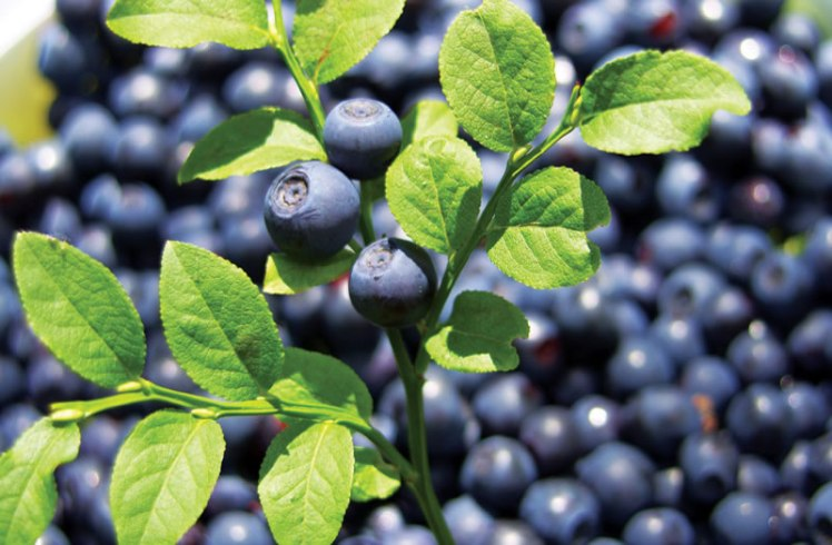 large_bilberry